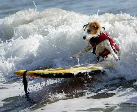 Fox terrier surfing --Buddy, first dog in Surfer Hall of Fame